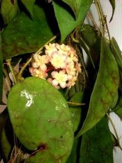 Hoya scortechinii Rare Hoyas Plant 1 Pot Exact Size