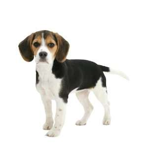 Wallpaper 4Walls Animals Puppy Love Beagle KP1202SA: Home