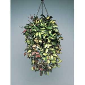 Porcelain Flower Plant Hanging in Front of a Wall (Hoya