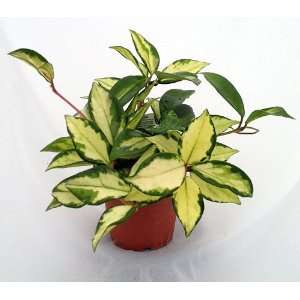 Lemon & Cream Wax Plant   Hoya   Great House Plant   4