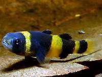 Catappa Leaf for Freshwater Puffer bumble bee Goby Fish