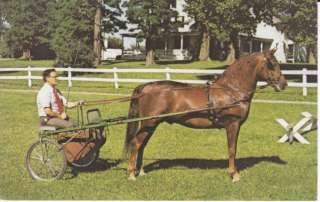 MORGAN HORSE POSTCARD UVM SABER PLEAS DRIVING CHAMPION