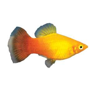 Sunburst Platy   Tropical   Fish   PetSmart