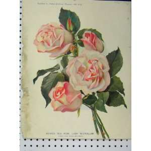 Hybrid Tea Rose Lady Waterlow 1910 Pink Flowers Print
