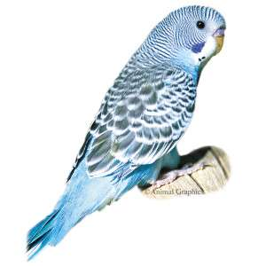Blue Parakeet   Bird   Live Pet
