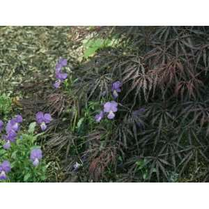 Violets Grow Amid a Clump of Japanese Maple Leaves